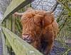 Highland cattle (Karolina Jantas) Tags: highland cattle daisy nook brambles fence
