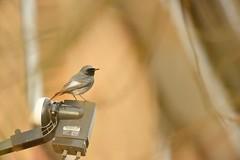 Black Redstart (Benjamin Joseph Andrew) Tags: bird passerine urban town garden house perching looking winter