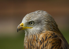 "Red Kite (wayne.withers1970) Tags: small pretty wings color colorful nature natural colour colourful wild wildlife england autumn flickr dof bokeh country countryside outside outdoors alive fauna canon sigma green light blur black white bird feathers red brown kite raptor ""bird prey"" portrait"