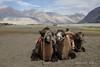 Ladakh (Rolandito.) Tags: india inde indien ladakh hunder vallay camel camels