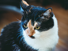 *** (donnicky) Tags: cat closeup domesticanimal home indoors nopeople oneanimal pet publicsec лилу