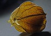 365 - Image 09 - Physalis... (Gary Neville) Tags: 365 365images 5th365 photoaday 2018 sony sonyrx10iv rx10iv rx10m4 polaroid250d garyneville