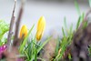 Promise of spring... (Maria Godfrida) Tags: 7dwf flora nature plants flowers closeup spring crocus yellow green bokeh blur seasons