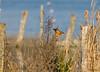 Martin-pêcheur femelle (Philippe Renauld) Tags: martinpêcheur femelle domainedesoiseaux étang calmont occitanie france fr