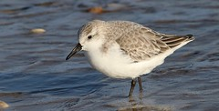 Sanderling 170118 (15) (Richard Collier - Wildlife and Travel Photography) Tags: wildlife naturalhistory nature british birds britishbirds sanderling