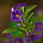 Blue Potato Bush - Solanum thumbnail
