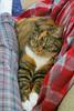 Gracie 21 December 2017 8099Ri 4x6 (edgarandron - Busy!) Tags: cat cats kitty kitties tabby tabbies cute feline gracie patchedtabby