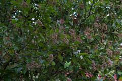 jdy264XX20160920a3623.jpg (rachelgreenbelt) Tags: ghigreenbelthomesinc familyadoxaceae usa eudicots greenbelt northamerica midatlanticregion ouryard orderdipsacales asteridsclade campanulidsclade maryland americas viburnum magnoliophyta adoxaceae adoxaceaefamily asterids dipsacales dipsacalesorder floweringplants spermatophytes