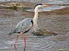 Garza real (Ardea cinerea) (18) (eb3alfmiguel) Tags: aves zancudas ciconiiformes ardeidae garza real ardea cinerea