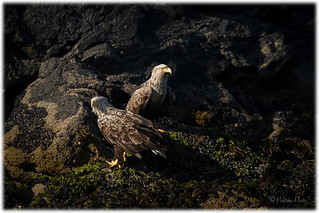 Havsörnar - Sea Eagles (Haliaeetus albicilla)
