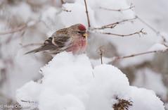 Common Redpoll (Acanthis flammea) Gråsiska (Hans Olofsson) Tags: bird fågel fåglar garden gråsiska natur nature siskin skammelstorp snö trädgård vinter winter acanthusflammea
