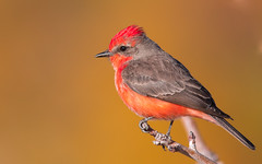 Vermillion Flycatcher (gilamonster8) Tags: vermillion flycatcher bird animal perched pose quality arizona wing white sky stick smoke explore explored eos ef400mm56l desert canon color common red flight flickrelite fly view tucson tail talons tree twig gray great garden bokeh beyondbokeh beak bill black brown yellow ngc park plant lake 7dmarkii