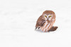 Petite nyctale / Northern saw-whet owl (Simon Théberge) Tags: