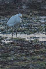IMG_2881 (armadil) Tags: mavericks beach beaches californiabeaches bird birds egret snowyegret