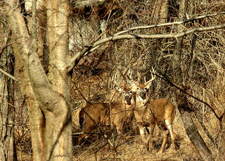 two bucks posing