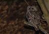 Watching the road (ukmjk) Tags: tawny owl nikon nikkor d500 300mm f4 pf staffordshire stoke bird night sb900