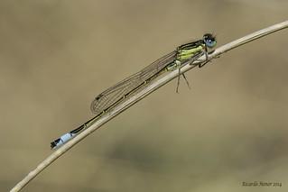 Ischnura elegans. (Vander Linden, 1820) Male