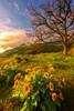 Morning Glory (wuman88) Tags: balsamroot tree gorge columbia rowena morning sunrise sidelight spring oak