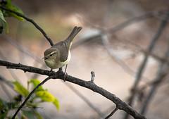 canarian chiff-chaff (tsd17) Tags: canaries grancanaria spain wildlife canon fantasticwildlife