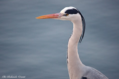 Airone cenerino _052 (Rolando CRINITI) Tags: aironecenerino airone ritratto uccelli uccello birds ornitologia canaledicalma genova pra natura
