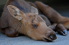 Lost Moose Calf In Our Driveway (AlaskaFreezeFrame) Tags: moose calves moosecalves cute canon alaska alaskafreezeframe anchorage nature outdoors wildlife 70200mm mammals herbivore baby babies spring home driveway lost closeup portrait beautiful