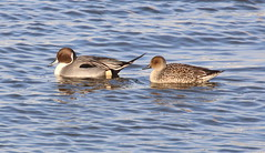 Northern Pintail pair (vischerferry) Tags: mohawkriver northernpintail duck river pintail newyorkstate