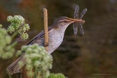 Great reed warbler with dragonfly (Cristiano Tedesco) Tags: great reed warbler cannareccione dragonfly libellula wild canneto reeds lago wildphoto nature natura puglia salento bird birds birding sunrise