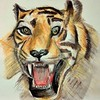 Tigre 🐅 (cecile_halbert) Tags: dessin tigre tiger aquarelle crayonsaquarellables croquis crayon crayonné watercolor draw drawer drawing sketch sketching sketcher carnet sketchbook artbook artiste artjournal journal journaling nature animal