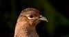 Game Bird (_J @BRX) Tags: pheasant rspb leightonmoss january2018 lancashire england uk winter bird nikon d5200