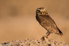 Mochuelo de Madriguera, Burrowing Owl (Athene cunicularia) (Corriplaya) Tags: aves burrowingowl california mochuelodemadriguera birds corriplaya athenecunicularia
