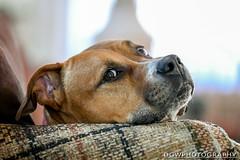 Max... (dgwphotography) Tags: sigma50100 sigma50100f18art nikond500 dog pet rescuedog pitbull