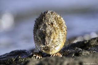 Rakali - Water Rat