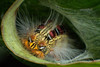 Gusano (Angela Cristancho R.) Tags: lagartija colombia macrophotography bugs boyacá gusano mariquita coccinélidos