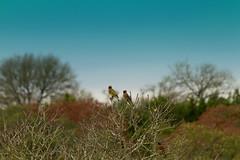 Cedar waxwings (austexican718) Tags: texas native fauna centraltexas winter landscape hillcountry bird waxwing nature skyline horizon treeline canon telephoto ngc canonflickraward