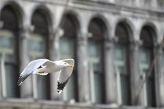 il volo (ClaudioBelletti65) Tags: venezia venice piazza gabbiano volo