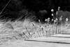 cotton grass - Wollgras (meine.augenblicke) Tags: hohesvenn wollgras 2017 nordrheinwestfalen bogcotton wallonie kameranikond750 wege logpavedpathes bohlenweg belgien urlaub ways cottongrass moorlandschaft sw blackandwhite