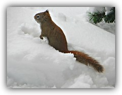 Chipmunk In Snow (bigbrowneyez) Tags: chipmunk cute snow february furry fun adorable nature natura animale bello pretty neve inverno winter frame cornice flickrfresh entertaining digging tail eyes whiskers snowflakes ottawa canada cold freddo chipmunkinsnow