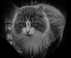 Forest cat (MortenTellefsen) Tags: 2018 katt snø forest cat cats bw blackandwhite blackandwhiteonly bnw monochrome svarthvitt norwegian norway norsk skogskatt animal