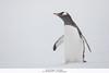 Gentoo Penguin - Antarctica (Vivek Khanzodé (www.birdpixel.com)) Tags: gentoopenguin worldbirdspecies spheniscidae wildlife penguins nature birds antarctica pygoscelispapua worldbirdspecies1476 antarcticpeninsula an