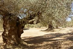 olivos milenarios-millenary olive trees (vitofonte) Tags: olivo olivas olive olives olivosmilenarios millenaryolivetrees aceite oil aceitevirgen virginoliveoil canetloroig castellón mediterraneo mediterraneansea naturaleza nature natura natureza vitofonte