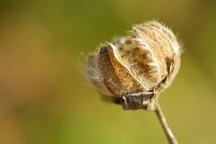 枯芙蓉  Witherd cotton rosemallow (takapata) Tags: sony sel90m28g ilce7m2 macro nature