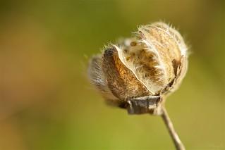 枯芙蓉  Witherd cotton rosemallow