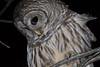 Barred Owl (Kern.Freesland) Tags: barred owl birds animals nature wildlife night
