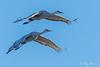 Carbon Copy – 1 (Roy Prasad) Tags: crane bird migration migrating sandhill prasad royprasad lodi california travel water nature sony a7rm3 flight bif sky tree