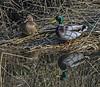 Brace of mallards a 220218 (Graeme Hutson) Tags: mallard brace ducks cock hen pair beak feather birds anus platyrhynchos male female 150600mmf563dgoshsm|s