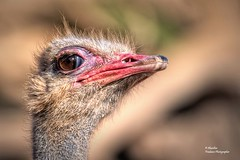 Struthio camelus australis (Ostrich) (Explore Feb 23, 2018 #143) (Abariltur) Tags: abariltur castellón spain nikond90 afsnikkor70300f4556gvr avestruz struthiocamelusaustralis especiesdeafrica bioparcvalencia valencia