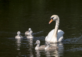 Mute swan with Signets