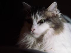 45/365 (Garen M.) Tags: dogs susan zuiko75mmf18 buttercup pets home cats chicklet jojo jerry olympuspenf