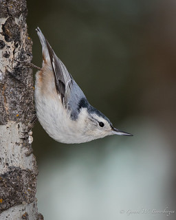 White-brea.ted Nuthatch