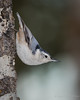 White-brea.ted Nuthatch (Turk Images) Tags: aspenparkland isletlake sittacarolinensis whitebreatednuthatch alberta birds sittidae wbnu winter